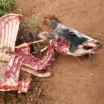 Dead Masai Cow without water or enough food to eat the cattle, donkeys, goats, and sheep are dying.