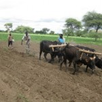Oxen plowing the Rafiki Farm