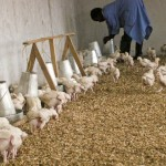 Orphans Foundation Fund chickens